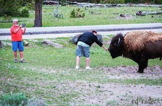 A man attempts to touch a Yellowstone Bison (Ed Rader, Wyohighcountry)