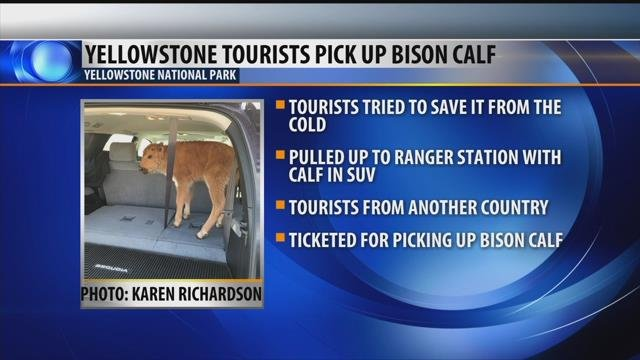 Tourists put bison calf in vehicle at Yellowstone National Park