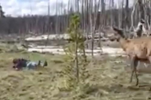 Yellowstone elk knocks woman down