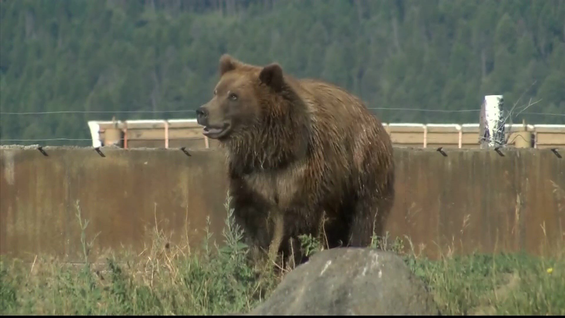Grizzly Bear (MTN News file photo)