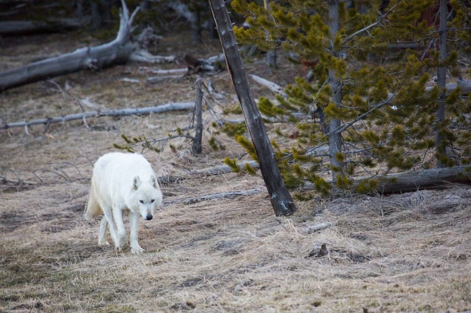 This Alpha female wolf of the Canyon pack was found injured Wednesday and had to be killed. (NPS/Neal Herbert, April 2016)