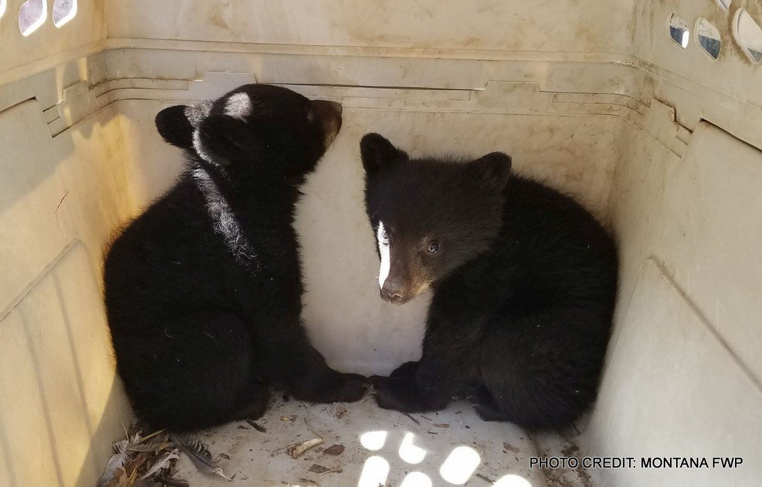 Two black bear cubs that were orphaned when their mother was hit and killed by a pickup truck have been found and are safe.