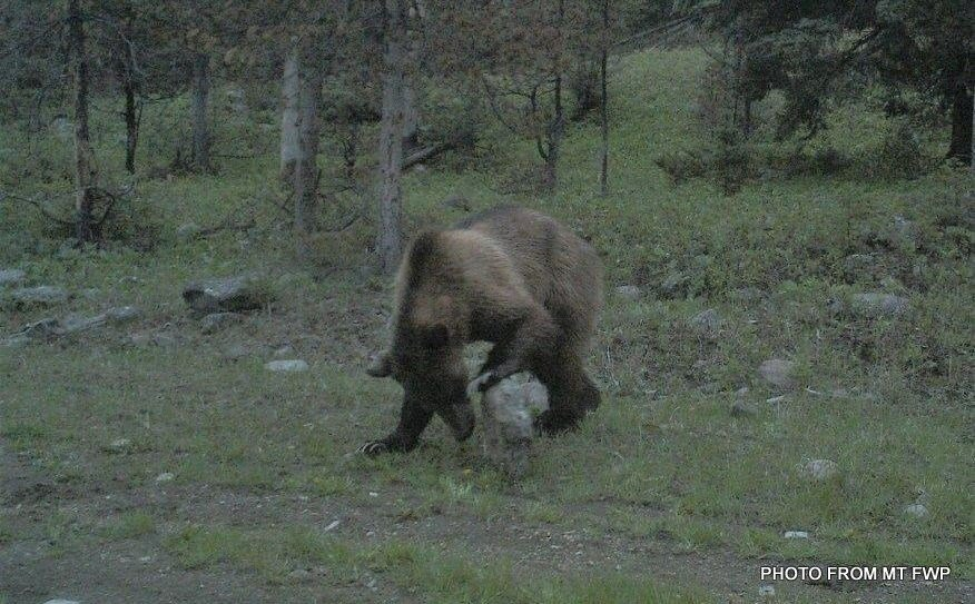 The grizzly bear pictured was confirmed northwest of White Sulphur Springs at the beginning of July.
