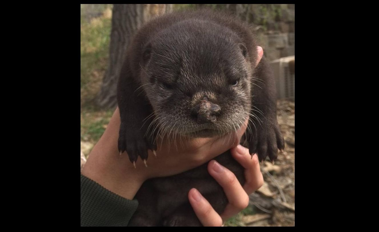 File photo of a river otter at ZooMontana (Photo: ZooMontana)