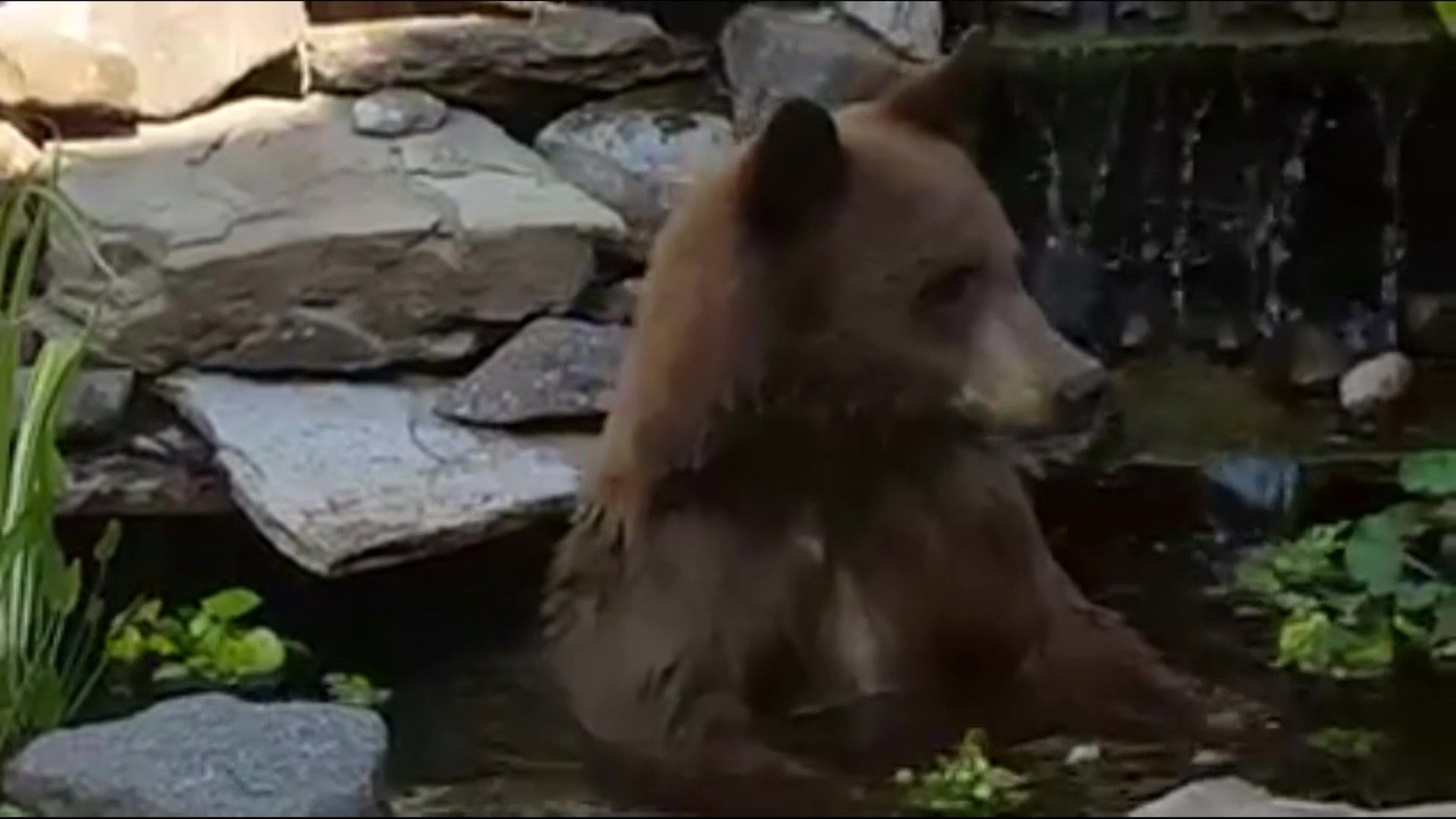 A young bear decided to take a dip in the koi pond of a home in Lockwood near Billings.