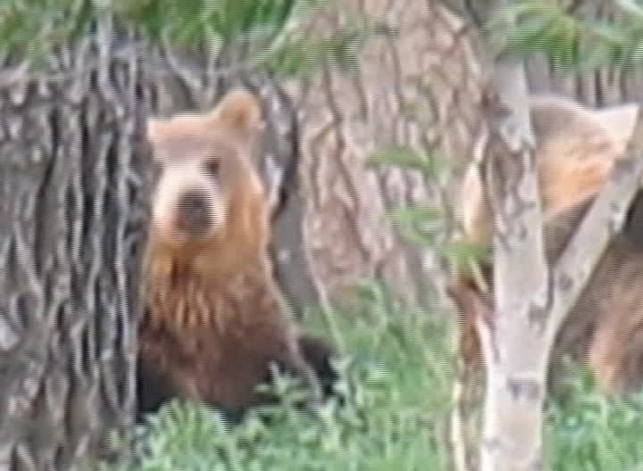 Grizzly bears near Carter in 2014