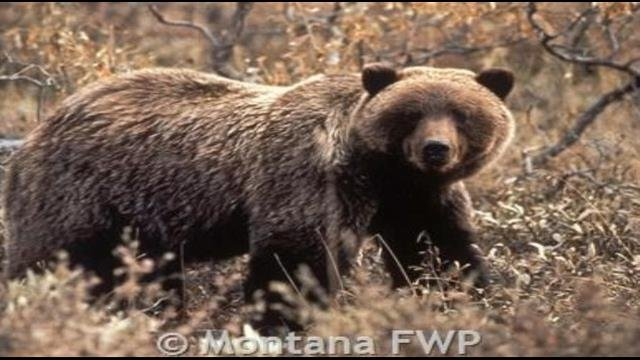 File photo of grizzly bear from MT FWP