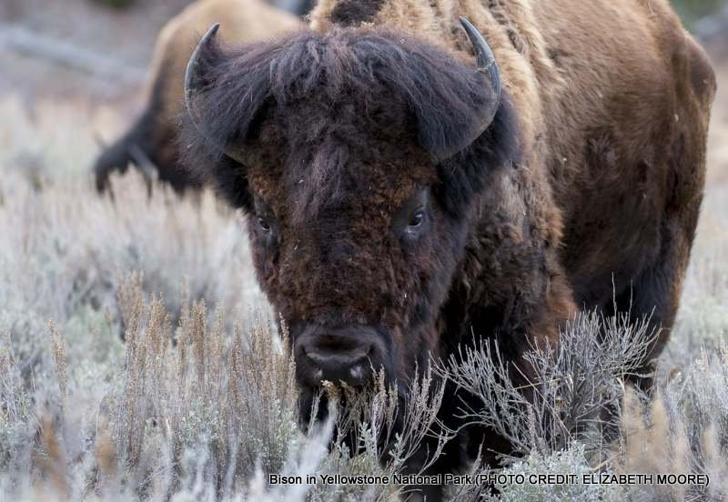 Stock photo of bison in Yellowstone National Park (Photo credit: Elizabeth Moore)
