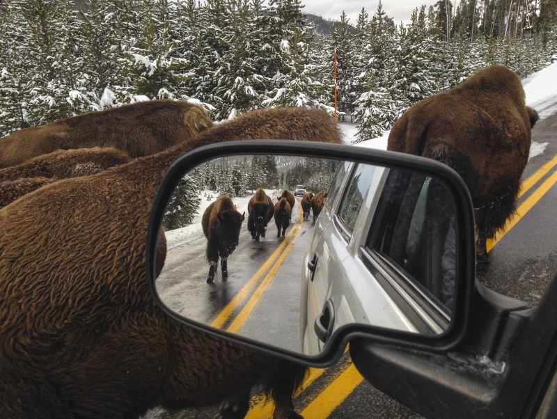 Bison jam the road between Mammoth and Norris in Yellowstone National Park in November, 2013. (Neal Herbert/NPS Photo)