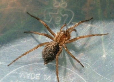 Photo from: Dr. Lee Ostrom's Hobo Spider Images