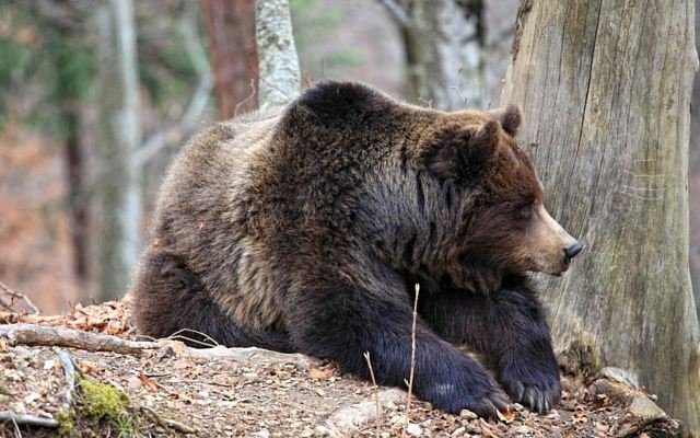 Stock photo of grizzly bear (MTN News)