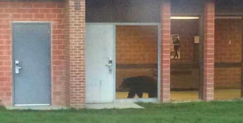 Bear in Bozeman High School -- photo by Nate H on Facebook