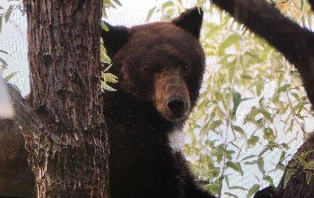 Treed bear in Missoula (Photo by Jill Valley)