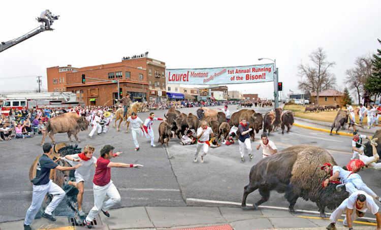 Running of the bison in laurel considered a big success for Bison motors great falls mt