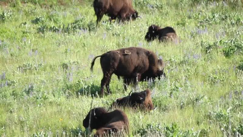 Blackfeet bison return starts new chapter for tribal for Bison motors great falls mt