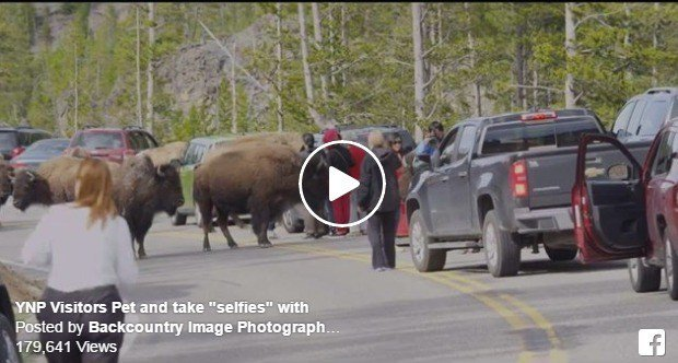 Visitors get too close to bison in yellowstone national for Bison motors great falls mt