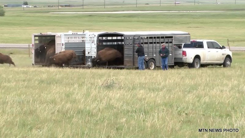 Elk island bison moved to new home krtv news in great for Bison motors great falls
