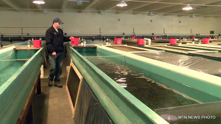 On The Job Giant Springs Fish Hatchery Krtv News In