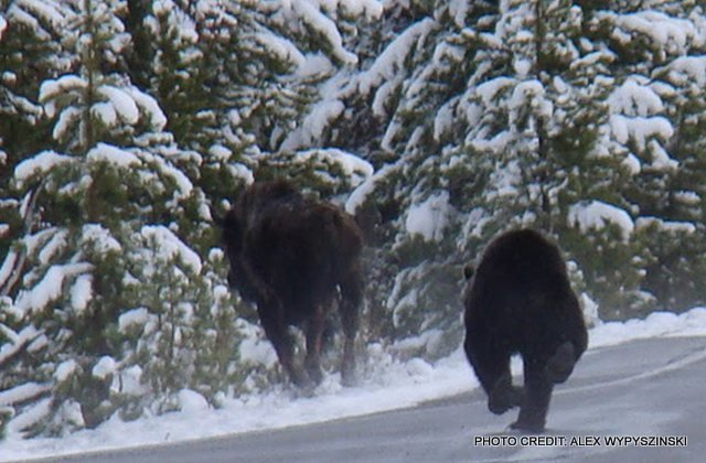 Flashback grizzly bear chasing bison in yellowstone for Bison motors great falls mt