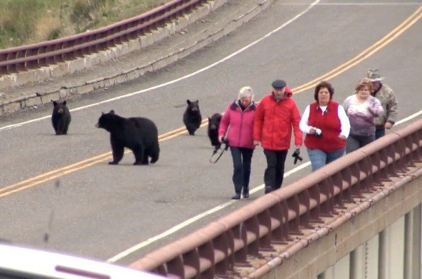 Video black bear and cubs encounter tourists krtv news for Fish wildlife and parks