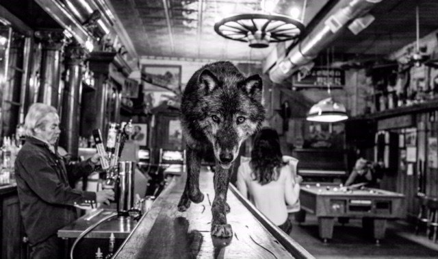 A wolf owned by Animals Of Montana, Inc. walks along a bar in Virginia City (Photo Credit: David Yarrow)